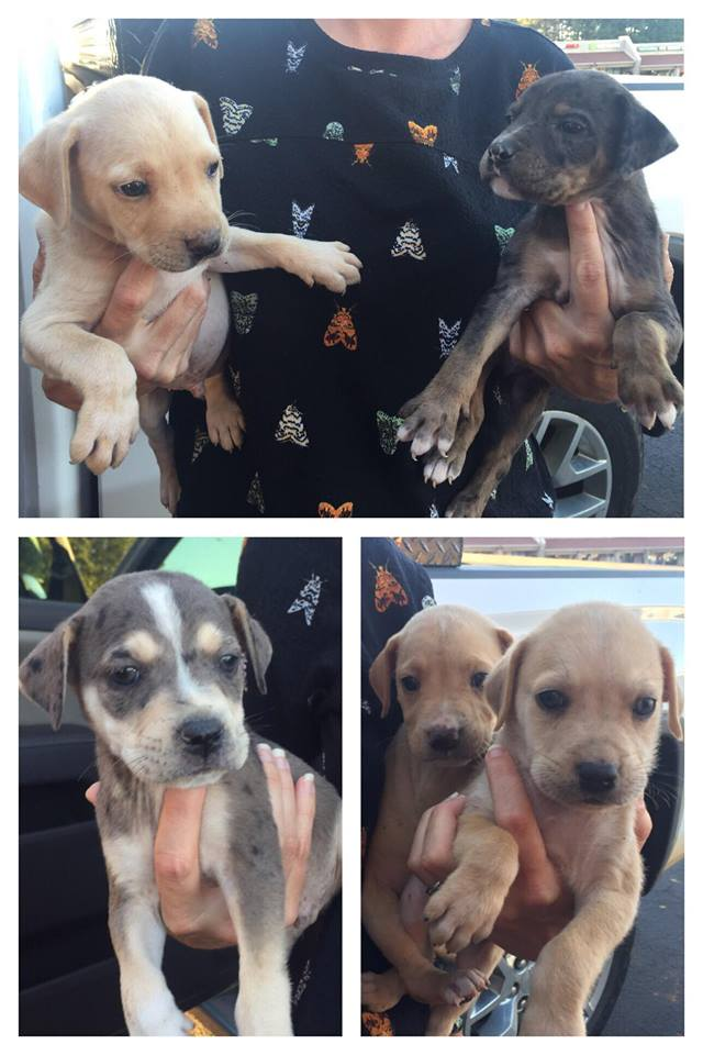 litter of 5 catahoula mix'