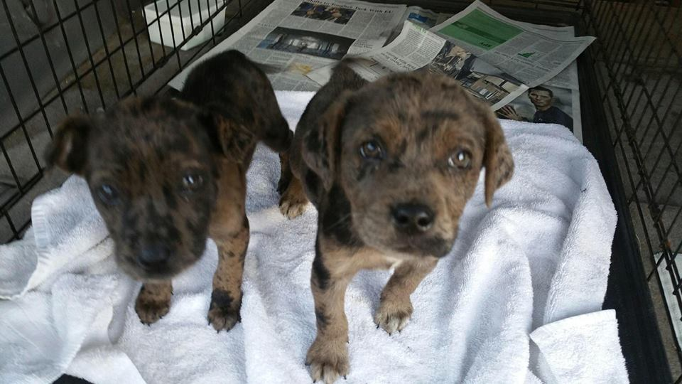 3  catahoula mix