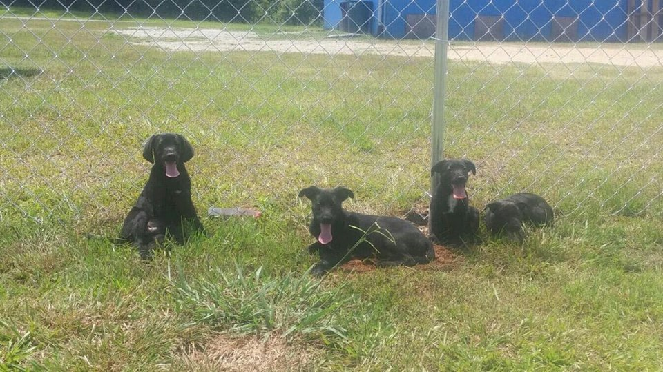 4 Dach Lab mix