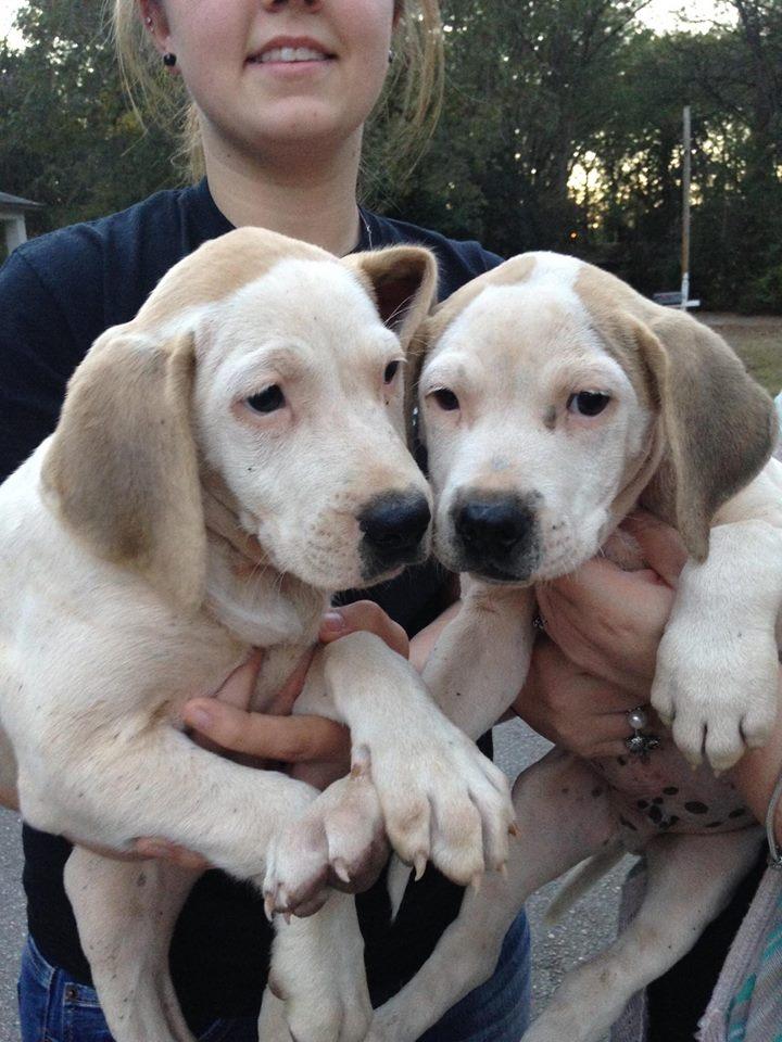2 hound pit mix