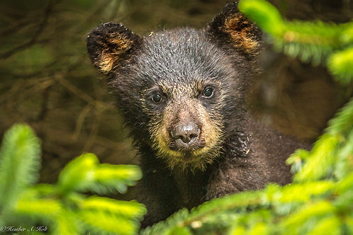 Young Black Bear Cub
