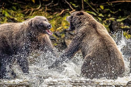 Coastal Brown Bears Sparring