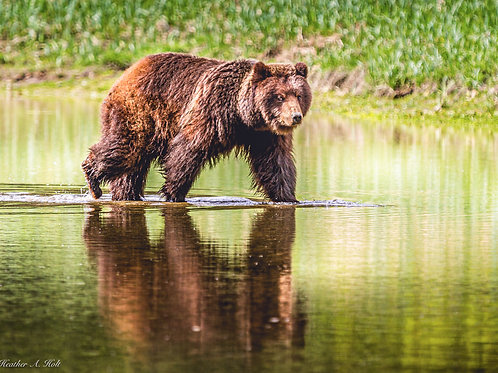 Male Alaska Coastal Brown Bear