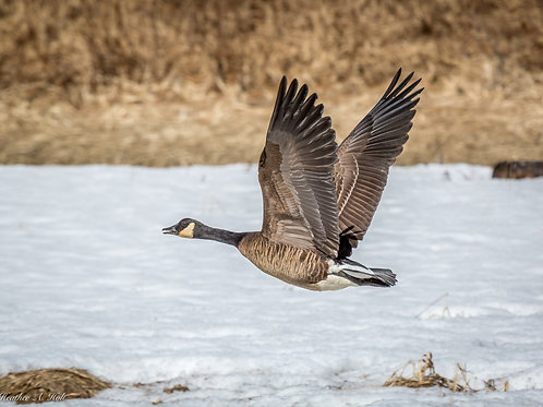 Canada Goose at Eagle Beach