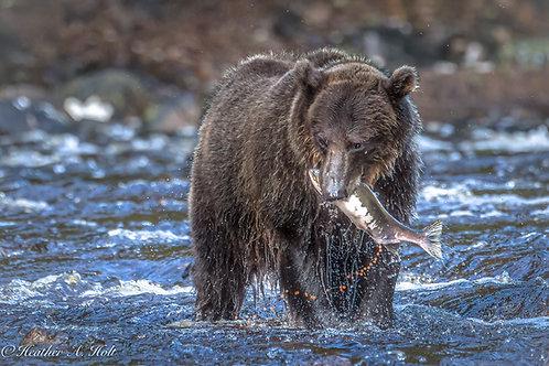Coastal Brown Bear w Salmon