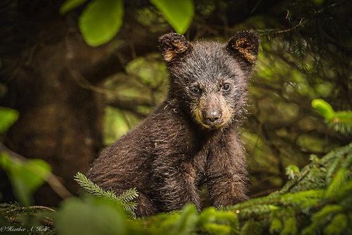 Young Black Bear Cub