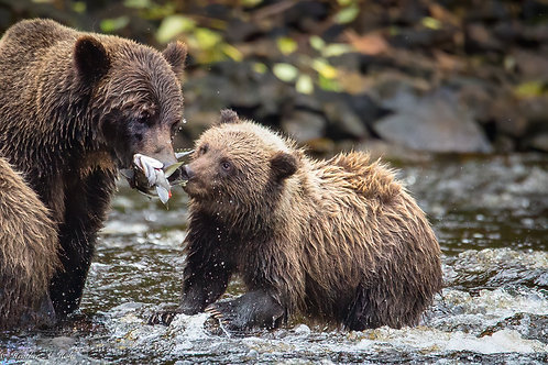 Coastal Brown Bear Cub and Mom