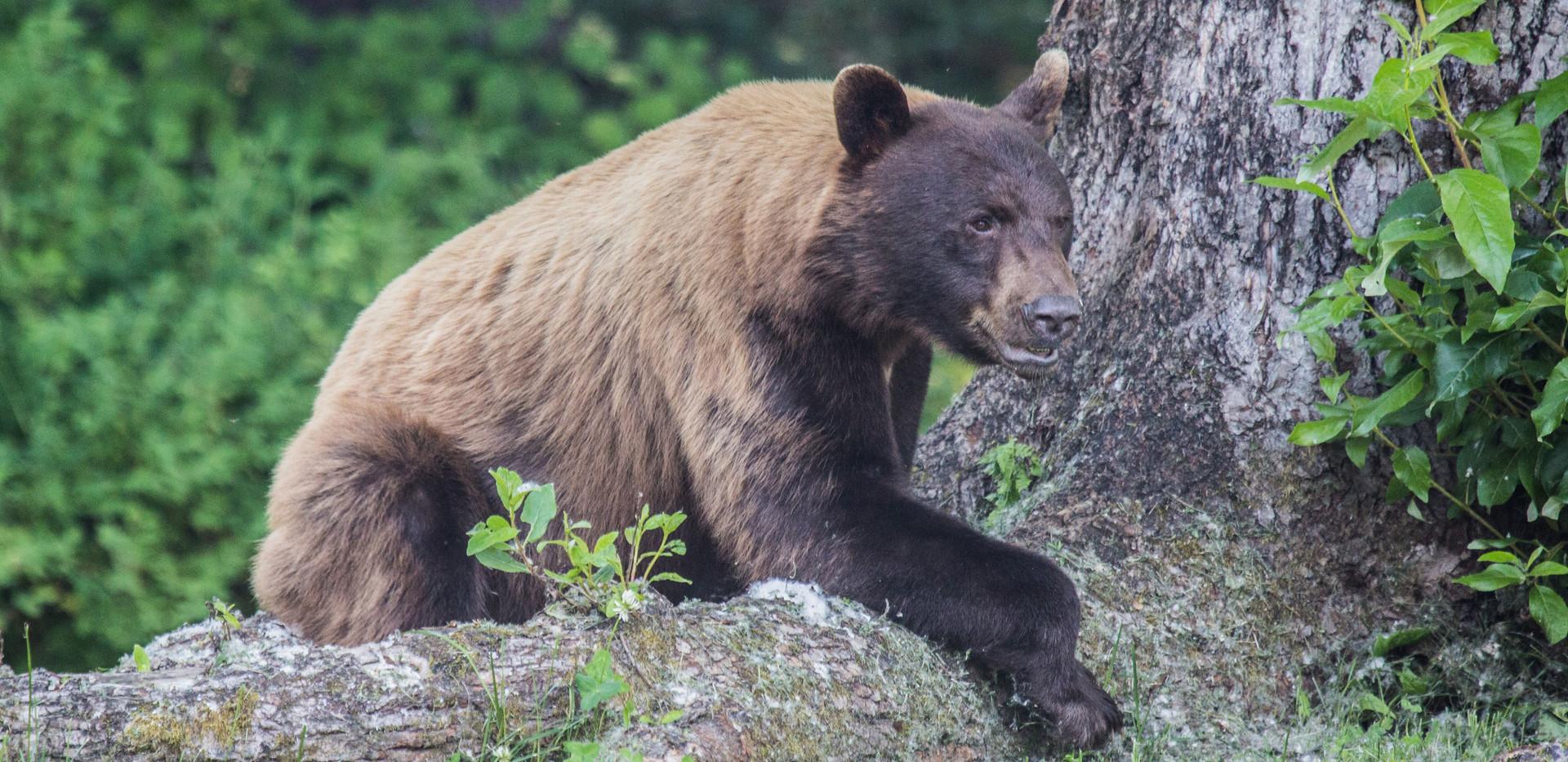 Bear at Lodge 2019.jpeg