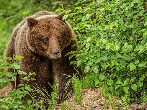 Southeast Alaska Coastal  Brown Bear