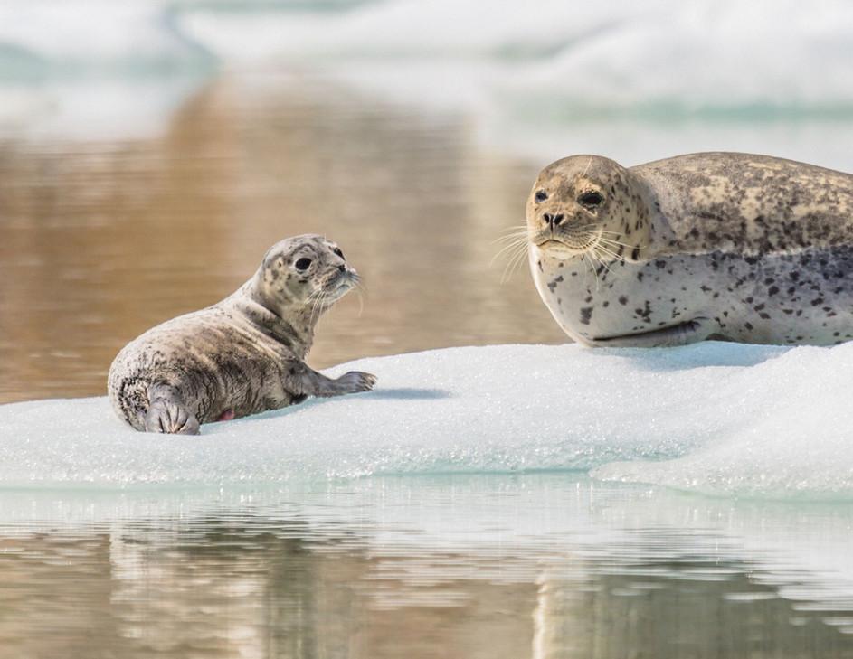 Seal pup Tracy Arm 2019.jpeg