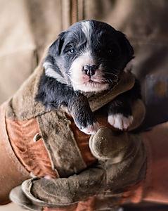 puppy 3 - male-2.jpg