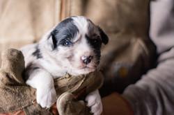 puppy 2 - male-2