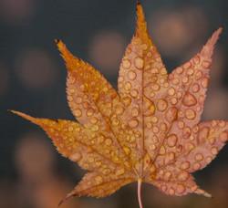 Maple leaf rain drops