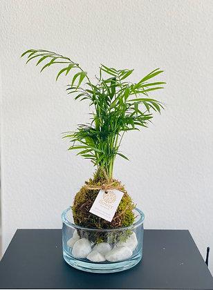 Palmová Kokedama