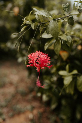 Spider Hibiscus