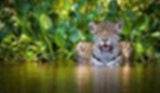 Jaguar-selva-latinoamericana_EDIIMA20180