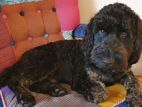 Diary of a re-homed cockerpoo