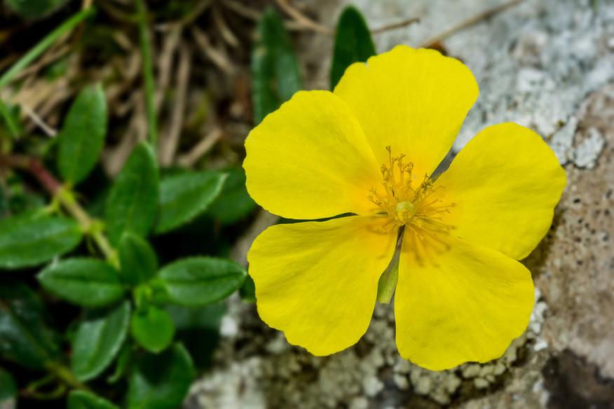 Rock Rose (Helianthemun nummularium)
