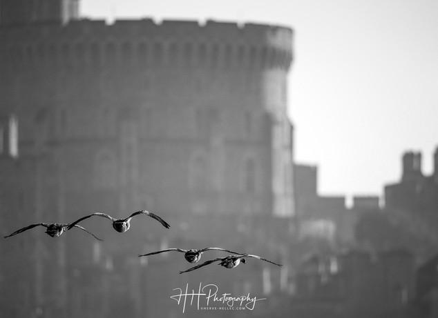Swans et Castle WIND_0040