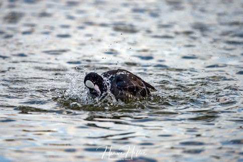 COOT WING_0047