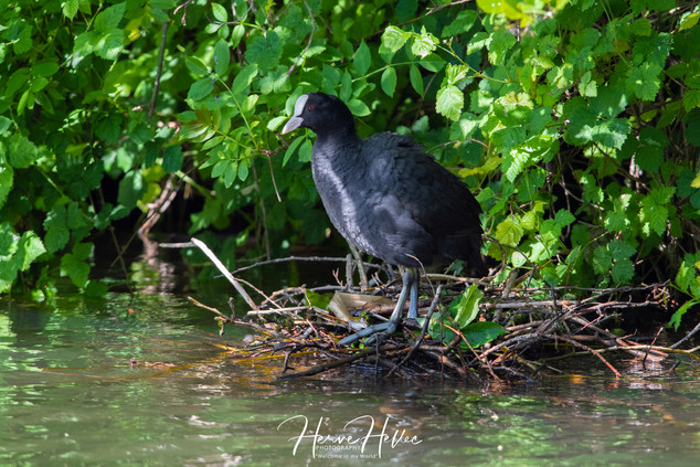 COOT WING_0086.jpg
