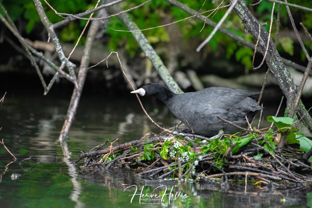 COOT WING_0072.jpg