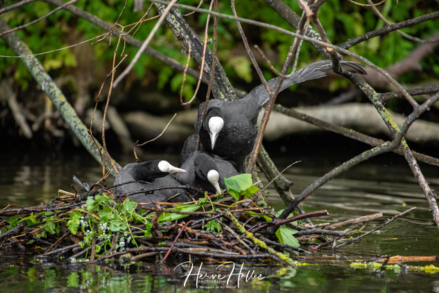 COOT WING_0076.jpg