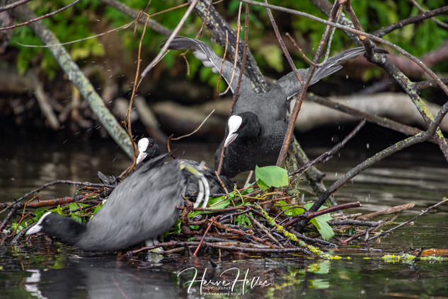 COOT WING_0077.jpg