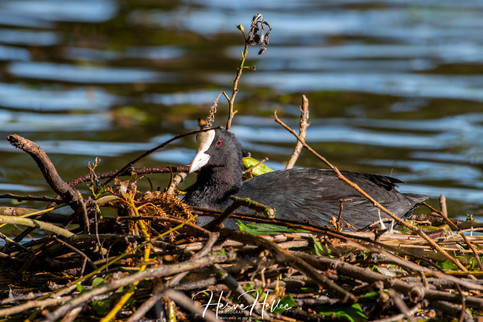 COOT WING_0025.jpg