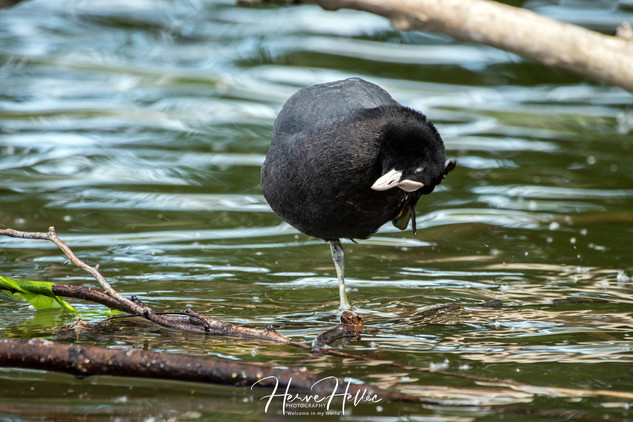 COOT WING_0108