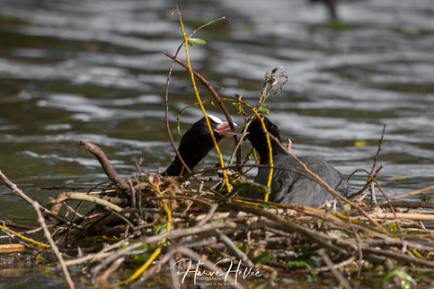 COOT WING_0030.jpg