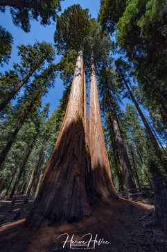 Yosemite Tree CALI_0020