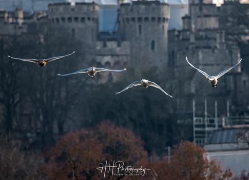 Swans et Castle WIND_0012