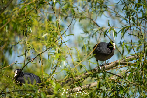 COOT WING_0084