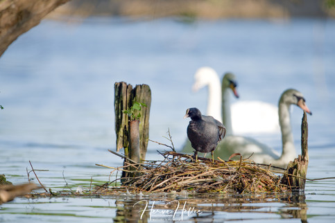 COOT WING_0081.jpg