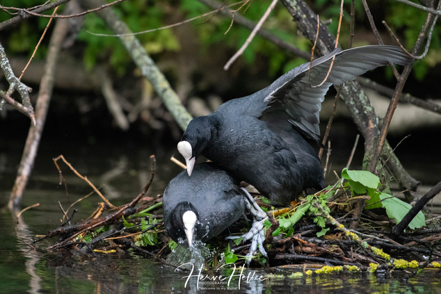 COOT WING_0069.jpg
