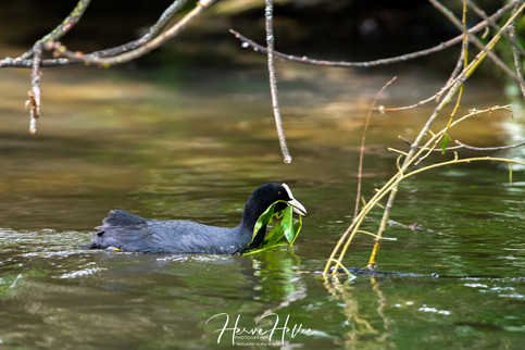 COOT WING_0089.jpg
