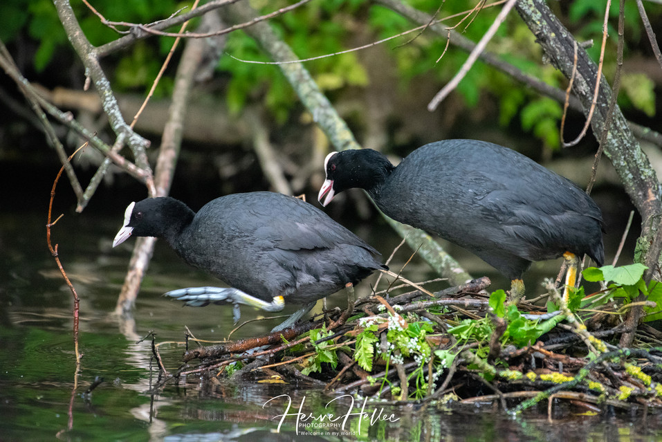 COOT WING_0068.jpg