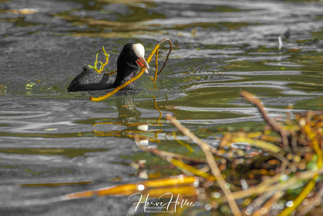 COOT WING_0027.jpg