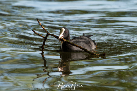 COOT WING_0020.jpg