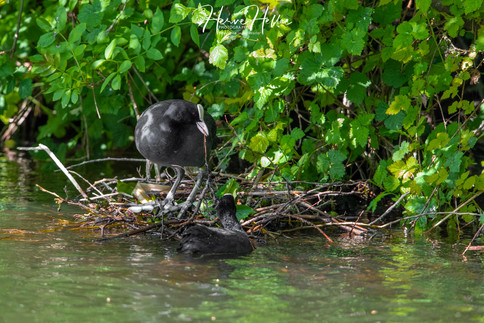 COOT WING_0087.jpg