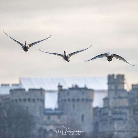 Swans et Castle WIND_0069