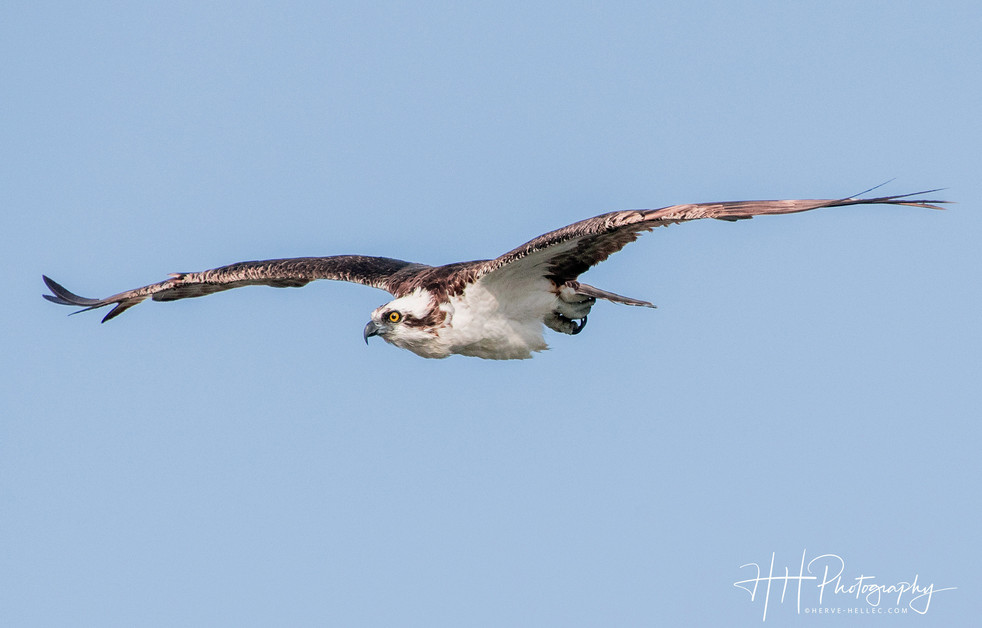 #merritt_island #osprey 1.jpg