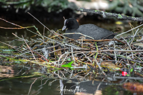 COOT WING_0067.jpg