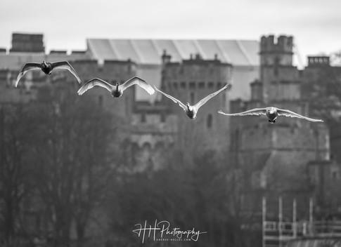 Swans et Castle WIND_0039