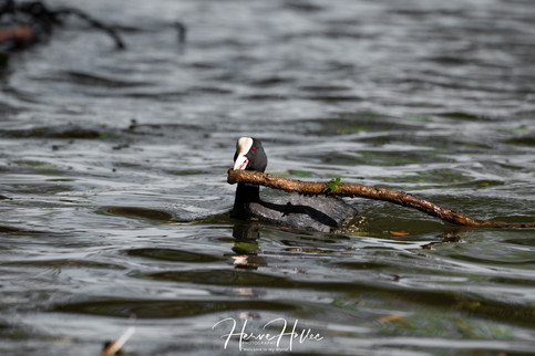 COOT WING_0028.jpg