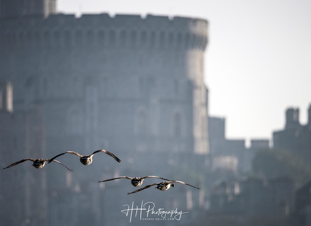 Swans et Castle WIND_0013
