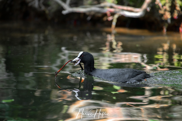 COOT WING_0074.jpg