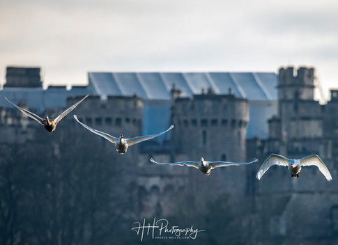 Swans et Castle WIND_0010