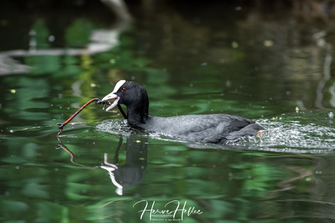 COOT WING_0075.jpg